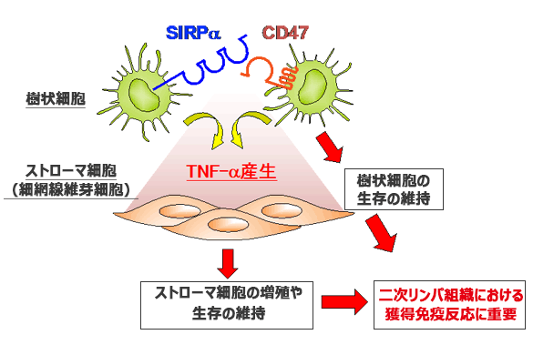SIRPα:樹状細胞の細胞膜に存在するタンパク質 CD47:SIRPαと結合して樹状細胞の生存を維持する
