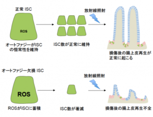 ISC:腸上皮幹細胞、ROS:活性酸素種