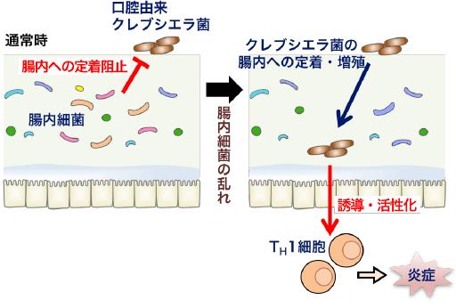 通常時は腸内細菌がクレブシエラ菌の定着を阻止しているが…